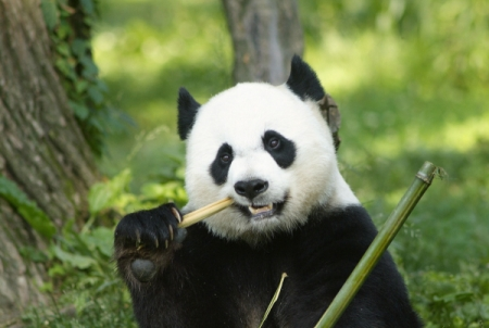 Bild: Mei Xiang (© Jessie Cohen/Smithsonian's National Zoo)
