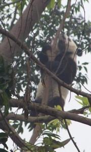 Panda im Baum (Wolong 2007 Filos)