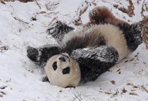 panda-im-schnee2009-1