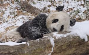 panda-im-schnee2009-2