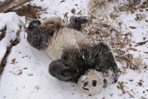 panda-im-schnee2009-3