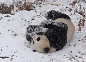 panda-im-schnee2009-4