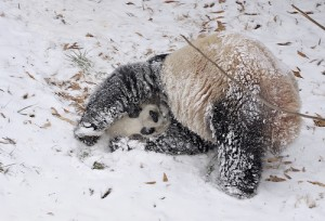 panda-im-schnee2009-5