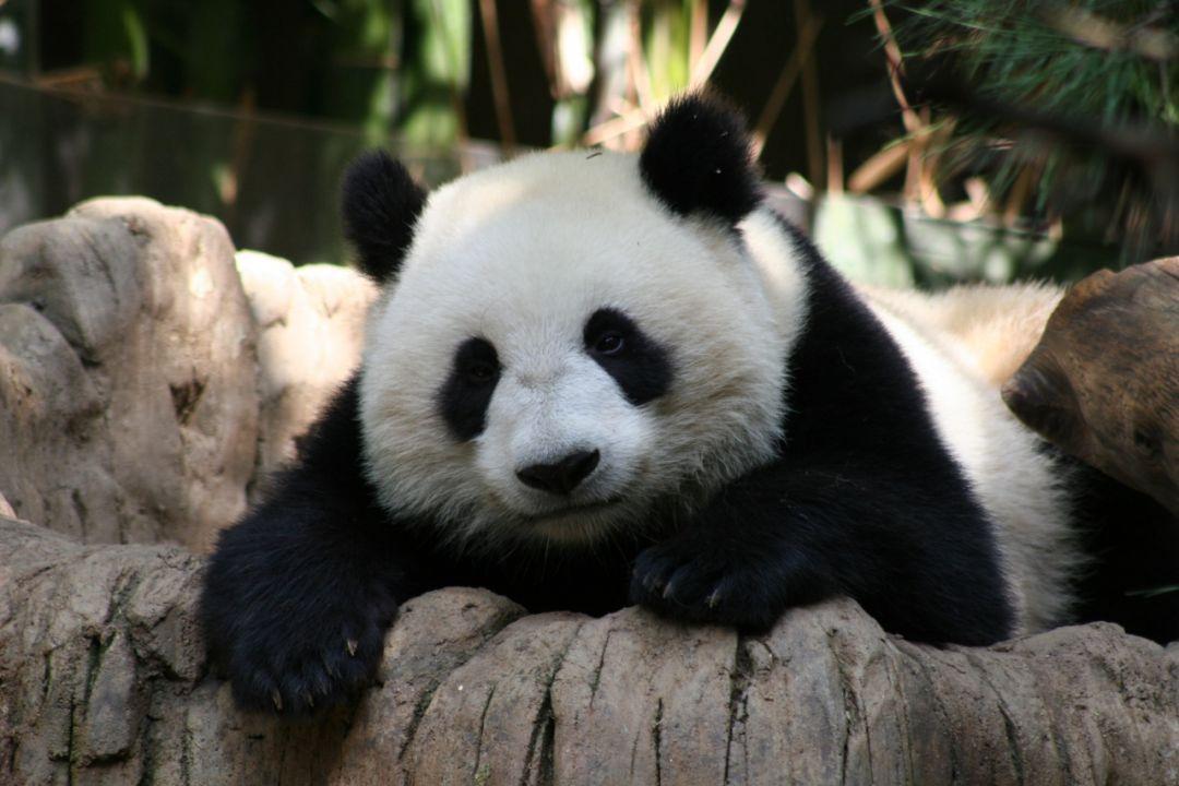 Erstes Pandababy 2011 von Su Lin