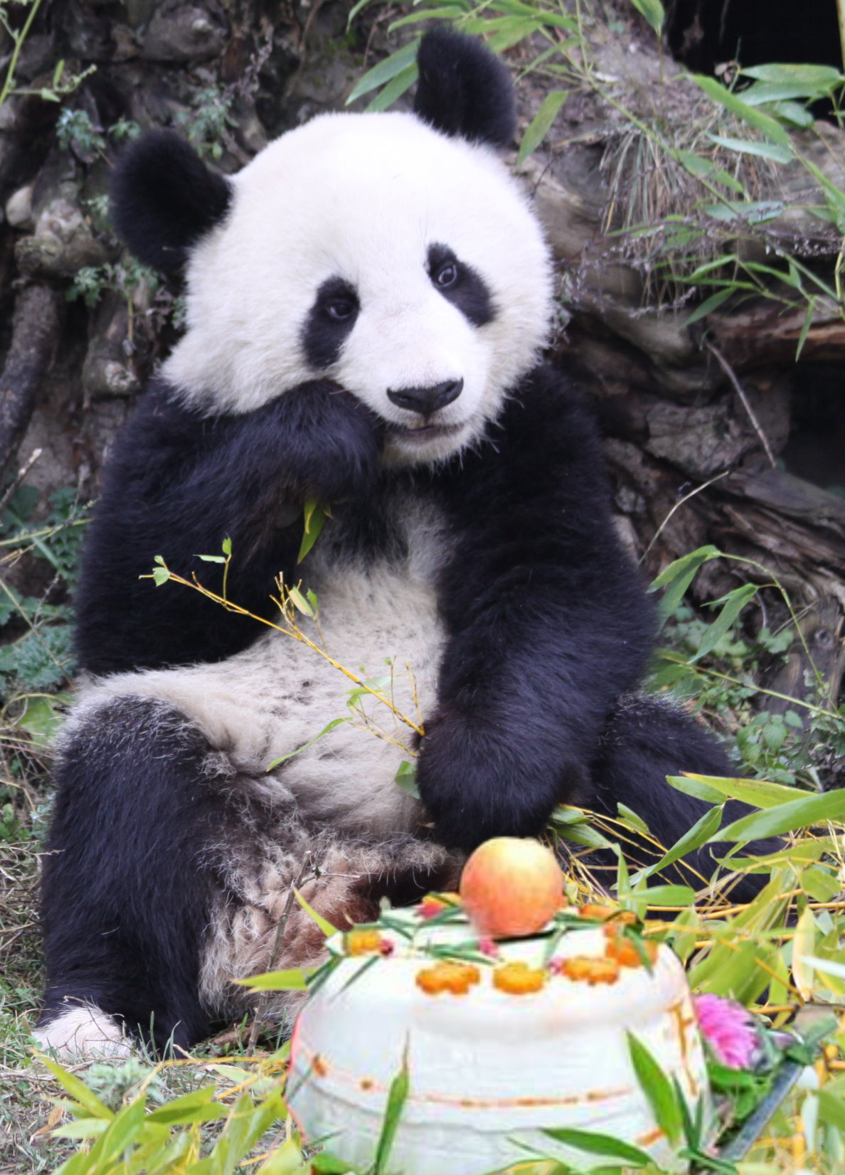 Fu Long – der Pandabär aus Wien