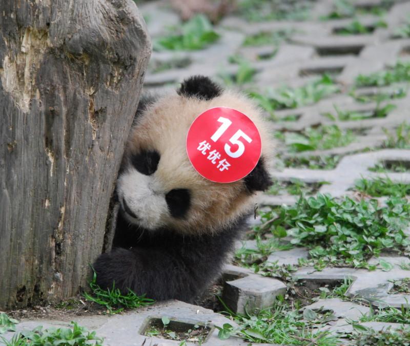 Panda Nr. 15