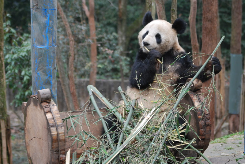 Panda-Dung für teuersten Tee der Welt