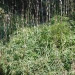 bamboo2010
