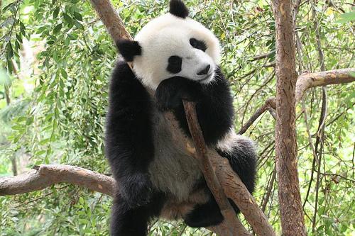 Panda- Austausch