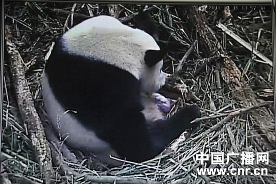 Herbstbaby auf Bifengxia