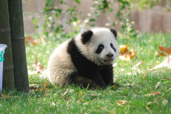 2011 kamen 21 Große Pandas auf die Welt