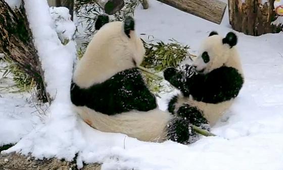 Erster Schnee für Fu Hu
