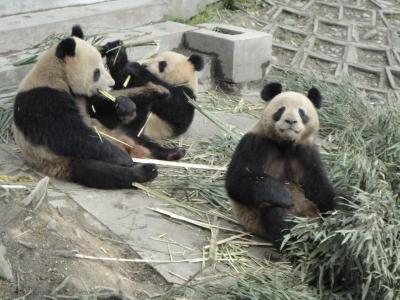 Bambus & Große Pandas
