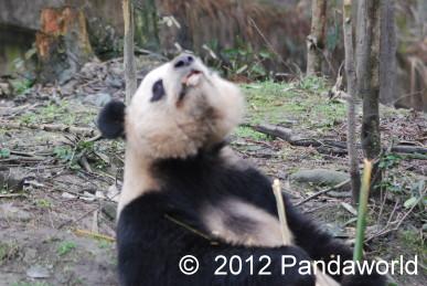 Panda Frühlingsmorgen auf Bi Feng Xia Base