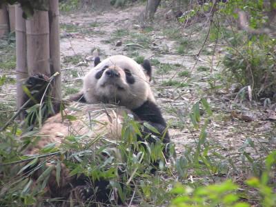 Wu Yi 五 一 oder 51 g Giant Panda
