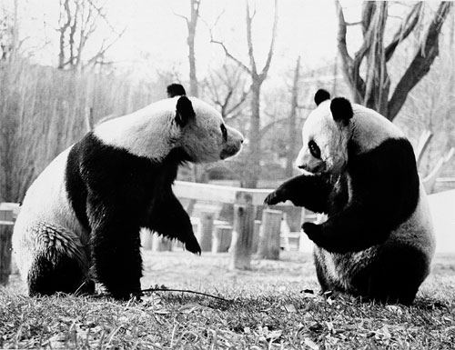 40 Jahre Giant Pandas in dem Smithsonian's National Zoo