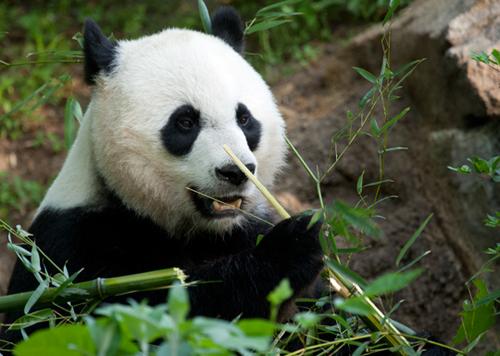 Mei Xiang schwanger oder nicht?