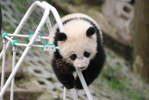 Panda-Olympia-Turnkunst
