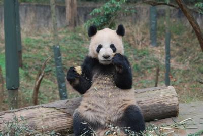 Wu Jie, Singapur Panda Kai Kai