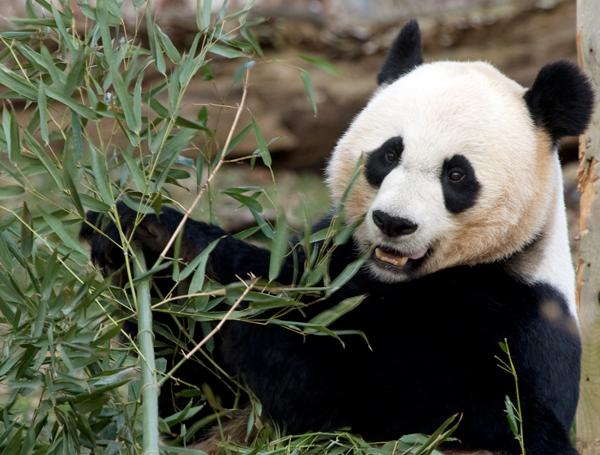 Todesursache von Panda-Baby geklärt