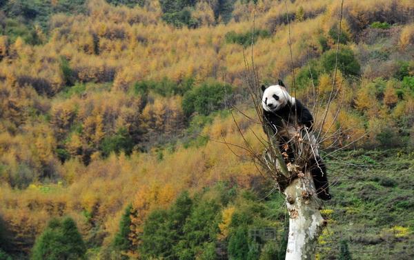 18 Pandas kehren nach Wolong zurück