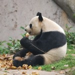 Panda_Konditorei