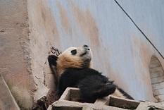 In dem Panda-Tal