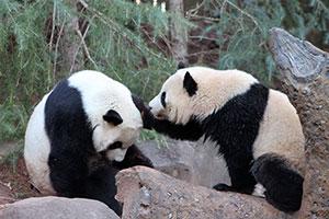 Xi Lan & Po verlassen Atlanta Zoo