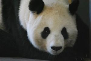 Austria_panda