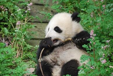 Mehr Große Pandas in Gansu