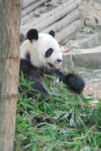 Bambus1