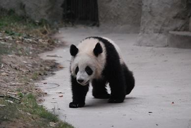 Die Chengdu Panda Basis