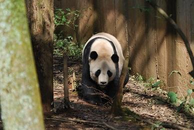 Giant Panda: Aus der Heimat