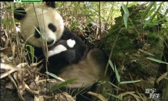 Die wilden Großen Pandas