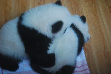 Die Population der Großen Pandas
