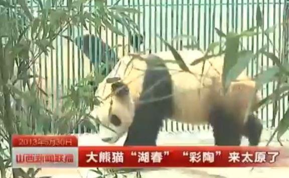 Die Ya'an Große Pandas sind da