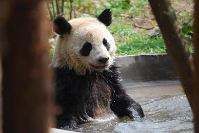 Giant Pandas: Sommer