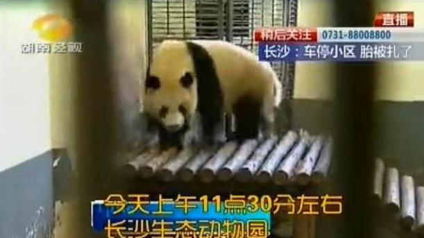 Verspielte Große Pandas