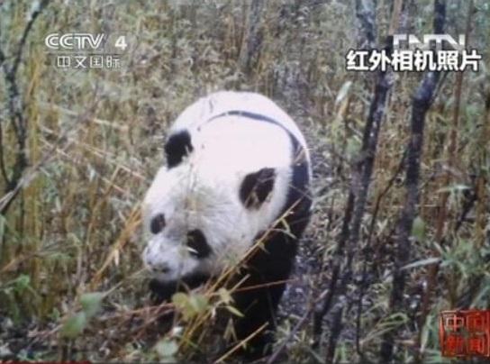 Der wilde Große Panda in Gansu
