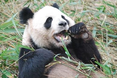 Die Ursprüge der Großen Pandas