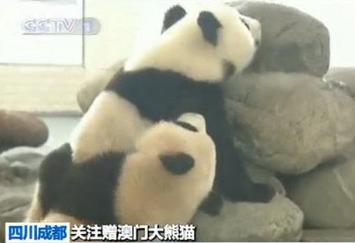 Macau Große Pandas