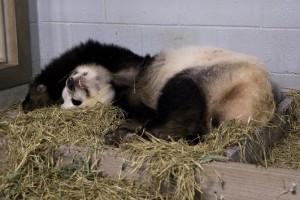 panda_cubs2013_130715_before_lunlun_ZA_0351