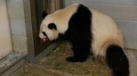 panda_cubs2013_130717_a_lunlun_cubreturned_SF_ZA