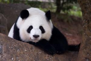 panda_lunlun_ZA_8360-400