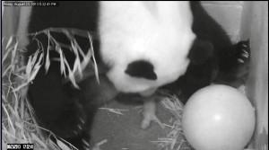 20130823-Panda-Cub-Birth