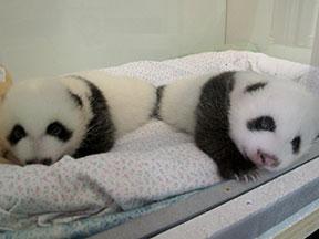 panda_cubs2013_130904_heatherroberts_A-B-in-box