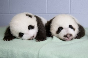 panda_cubs2013_130909_cub_b_a_table_ZA_4942