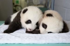 panda_cubs2013_130924_cub_b_a_table_ZA_6724