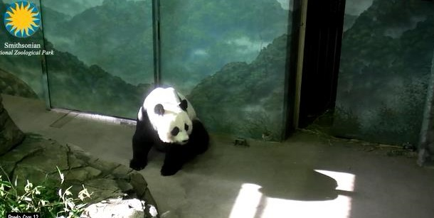 Freude über die Großen Pandas