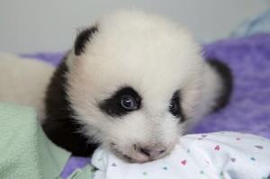 panda_cubs2013_130929_cub_a_box_ZA_7362